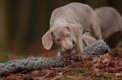 Filhote de cachorro de Weimaraner Imagens de Stock