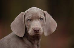 Filhote de cachorro de Weimaraner Imagem de Stock Royalty Free