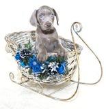 Filhote de cachorro de Weimaraner do Natal Fotos de Stock
