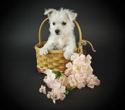 Filhote de cachorro de Westie fotografia de stock royalty free