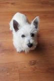 Filhote de cachorro de Westie no assoalho de madeira Imagem de Stock