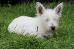 Filhote de cachorro de Westie que dorme na grama Fotografia de Stock