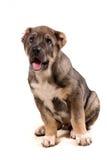 Filhote de cachorro de Yonug Imagem de Stock