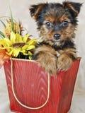 Filhote de cachorro de Yorkie Fotografia de Stock Royalty Free