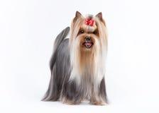 Filhote de cachorro de Yorkie Fotos de Stock