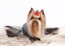 Filhote de cachorro de Yorkie Foto de Stock