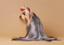 Filhote de cachorro de Yorkie Imagem de Stock Royalty Free