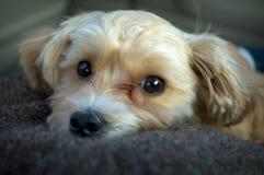 Filhote de cachorro de Yorkie e de Shih Tzu Fotografia de Stock Royalty Free