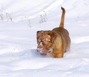 Filhote de cachorro dentro à neve. Imagem de Stock Royalty Free