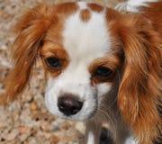 Filhote de cachorro descuidado Fotografia de Stock