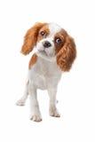 Filhote de cachorro descuidado do Spaniel de rei Charles Fotografia de Stock Royalty Free