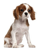 Filhote de cachorro descuidado do Spaniel de rei Charles, 3 meses Fotos de Stock Royalty Free
