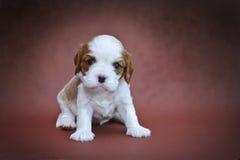 Filhote de cachorro descuidado do Spaniel de rei Charles Imagens de Stock Royalty Free