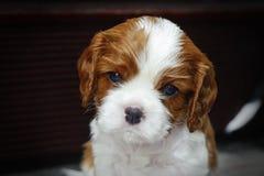 Filhote de cachorro descuidado do Spaniel de rei Charles Imagem de Stock Royalty Free