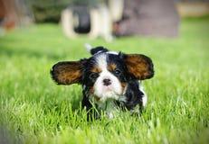 Filhote de cachorro descuidado do Spaniel de rei Charles Foto de Stock Royalty Free