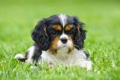 Filhote de cachorro descuidado do Spaniel de rei Charles Fotos de Stock
