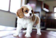 Filhote de cachorro descuidado do spaniel do rei Charles Foto de Stock