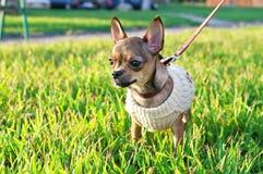 Filhote de cachorro diminuto da chihuahua que desgasta o revestimento feito malha Fotos de Stock Royalty Free