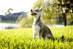 Filhote de cachorro do Alasca de Klee Kai que senta-se na grama que olha acima fotografia de stock royalty free