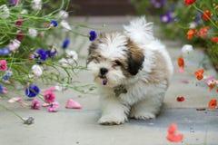 Filhote de cachorro do apso de Lhasa Imagem de Stock