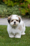 Filhote de cachorro do apso de Lhasa Foto de Stock
