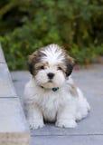 Filhote de cachorro do apso de Lhasa Imagem de Stock Royalty Free