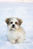 Filhote de cachorro do apso de Lhasa na neve Imagem de Stock