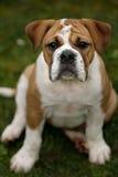 Filhote de cachorro do buldogue Fotografia de Stock Royalty Free