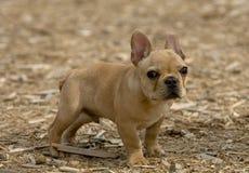 Filhote de cachorro do buldogue Imagens de Stock Royalty Free