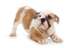 Filhote de cachorro do buldogue fotografia de stock