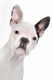Filhote de cachorro do buldogue francês Imagens de Stock