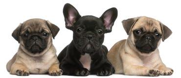 Filhote de cachorro do buldogue francês entre dois filhotes de cachorro do Pug Fotos de Stock Royalty Free