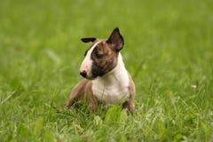 Filhote de cachorro do Bullterrier Imagens de Stock