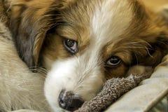 Filhote de cachorro do cão de Kooiker, cão holandês pequeno das aves aquáticas Imagem de Stock Royalty Free