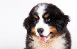 Filhote de cachorro do cão de montanha de Bernese Imagem de Stock Royalty Free