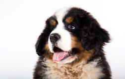 Filhote de cachorro do cão de montanha de Bernese Fotos de Stock Royalty Free