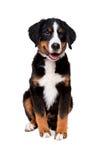 Filhote de cachorro do cão de montanha de Bernese Imagem de Stock