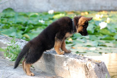 Filhote de cachorro do cão de pastor alemão Fotos de Stock