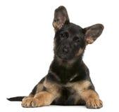 Filhote de cachorro do cão de pastor alemão, 3 meses velho, encontrando-se Fotos de Stock Royalty Free