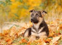 Filhote de cachorro do cão de pastor alemão Fotografia de Stock