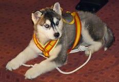 Filhote de cachorro do cão de puxar trenós foto de stock royalty free
