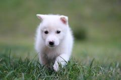 Filhote de cachorro do cão de puxar trenós Imagens de Stock