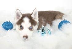 Filhote de cachorro do cão de puxar trenós do Natal Foto de Stock