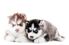 Filhote de cachorro do cão de puxar trenós dois Siberian isolado Fotos de Stock Royalty Free