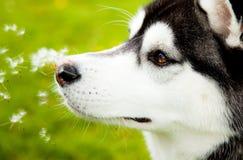 Filhote de cachorro do cão de puxar trenós Siberian Fotos de Stock