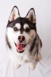 Filhote de cachorro do cão de puxar trenós Siberian Fotografia de Stock
