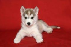 Filhote de cachorro do cão de puxar trenós Siberian Imagens de Stock