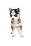 Filhote de cachorro do cão de puxar trenós Siberian Imagens de Stock Royalty Free