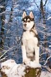 Filhote de cachorro do cão de puxar trenós Siberian na neve Fotografia de Stock Royalty Free