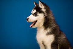 Filhote de cachorro do cão de puxar trenós Siberian no azul Foto de Stock